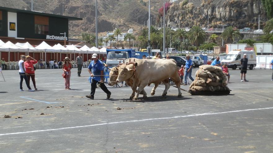 La final del XXII Concurso de Arrastre Isla de La Palma se ha celebrado este sábado en el aparcamiento del Puerto de Santa Cruz de La Palma.