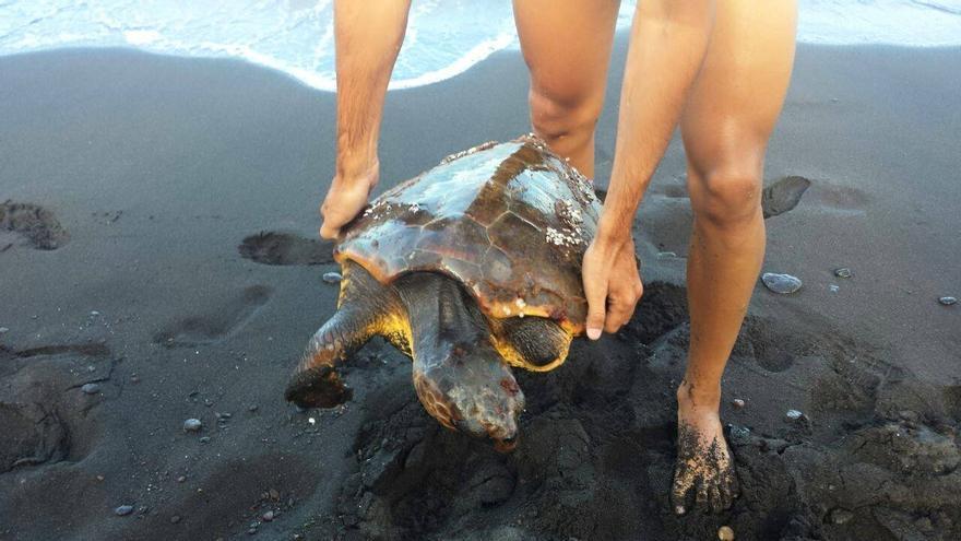 En la imagen, la tortuga rescatada en la playa de Bajamar.