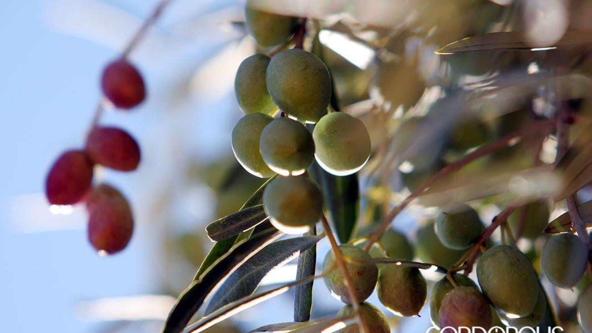Aceitunas en un olivo cordobés