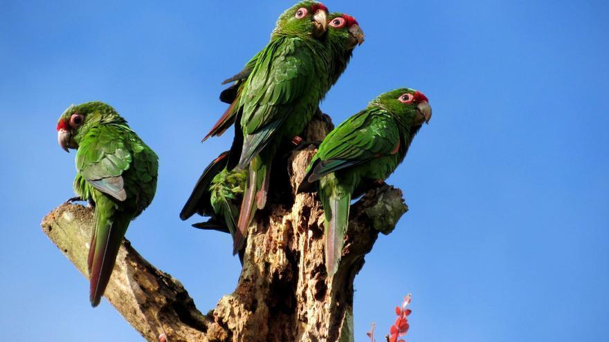 Cajas nido en el sur de Ecuador para salvar a perico en peligro de extinción