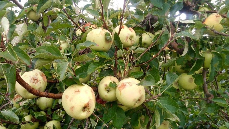 Los cambios en el climaprovocan que se disparen los siniestros por heladas en frutales y almendros en la región