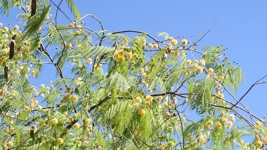 Descubren en el Parque Amate una especie de acacia desconocida en España
