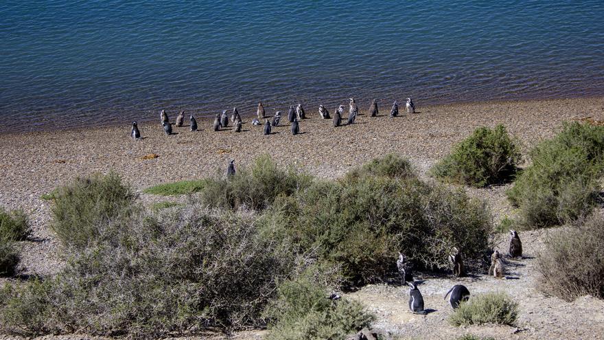 Pingüinos de Magallanes en Caleta Valdés.