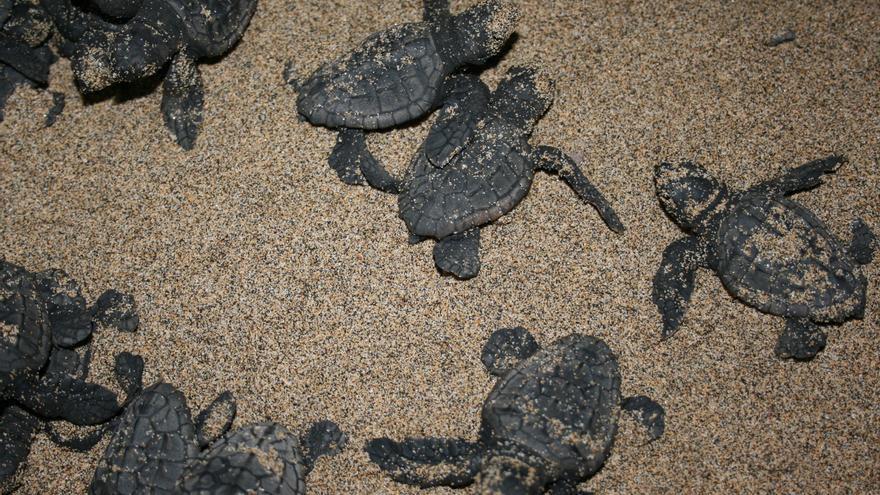 Crías de tortugas boba