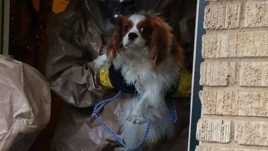 Bentley, el perro de la enfermera infectada por ébola en Dallas, trasladado a un lugar seguro para pasar su cuarentena.