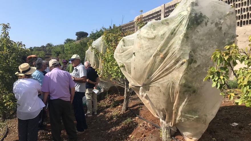 Ejemplo de manta térmica en un árbol frutal en producción