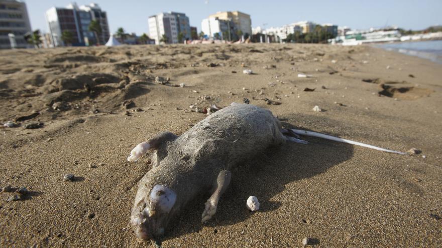 Una rata en la playa de Las Alcaravaneras, este viernes por la tarde. (ACN / V3S / Q.C)