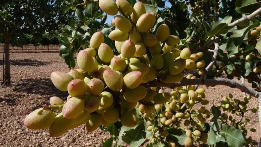 El pistacho es un leñoso que se adapta muy bien a la zona de La Mancha/ASAJACLM