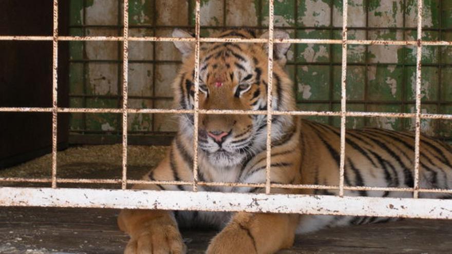 En 300 municipios españoles ya se prohíben los circos con animales salvajes.