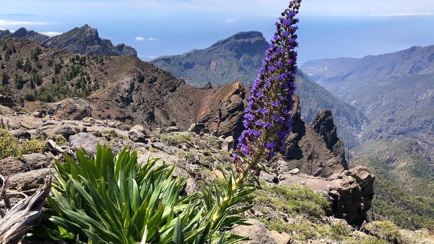 Ejemplar de tajinaste híbrido en plena floración, en as cumbres orientales de La Palma, en las inmediaciones del Pico de la Nieve