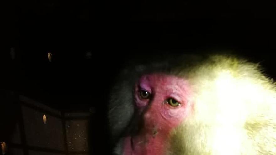 Uno de los macacos liberados en Guardamar de Segura (Alicante) antes de ser sedado para su traslado a Reino Unido.