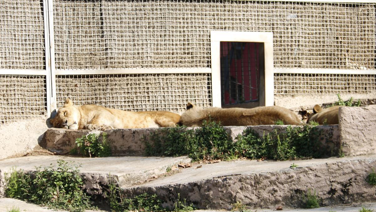 Tres leonas del zoo de Barcelona estiradas al sol, en una imagen de 2017