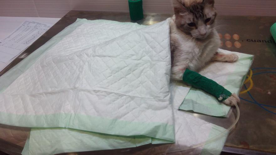 Tico con suero en el veterinario