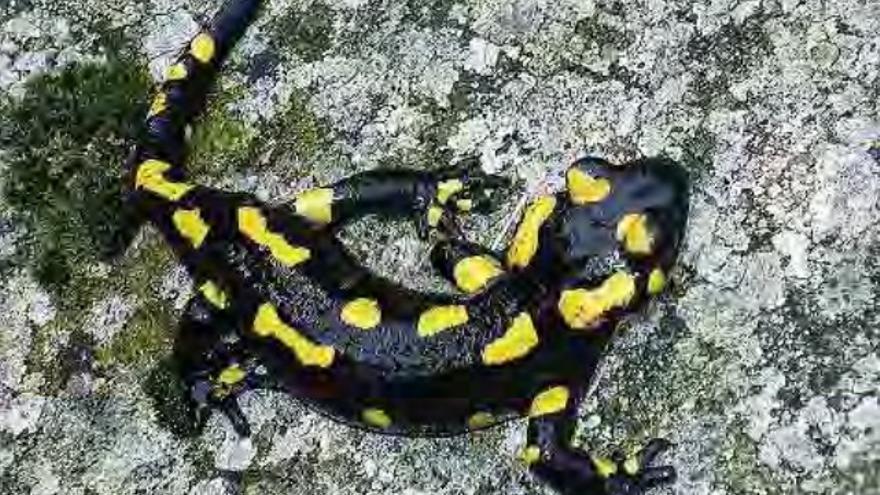 Salamandra común / http://extremambiente.gobex.es/