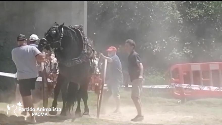 Pacma denuncia que un caballo se desploma durante las fiestas de tiro y arrastre de Riba-roja