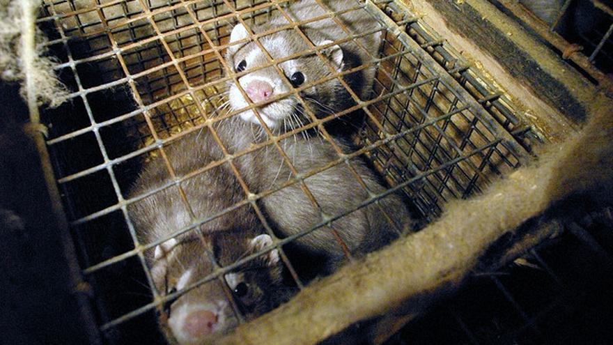 Visones enjaulados en una granja  Foto: Igualdad Animal