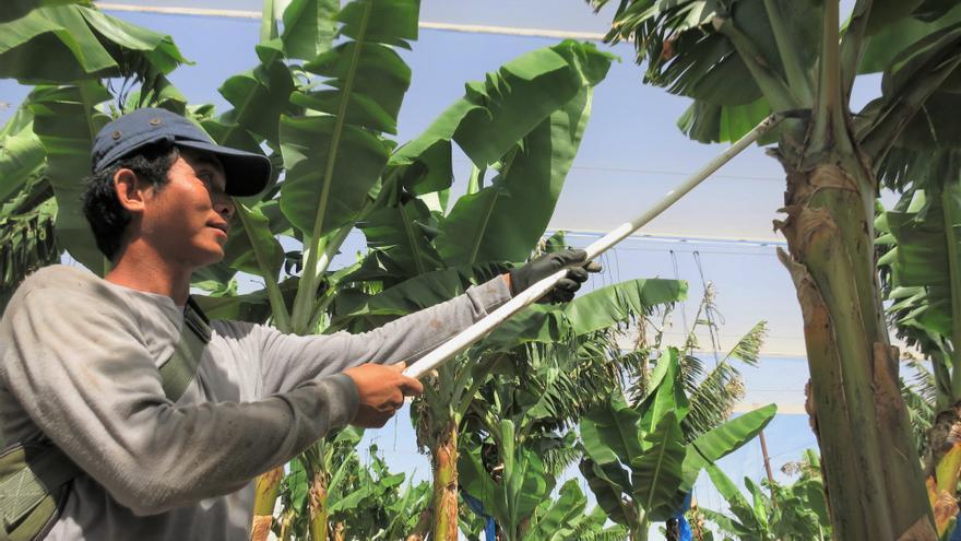 Trabajador tailandés en una de las plantaciones de plátano de la mancomunidad de Bananot Hahof.
