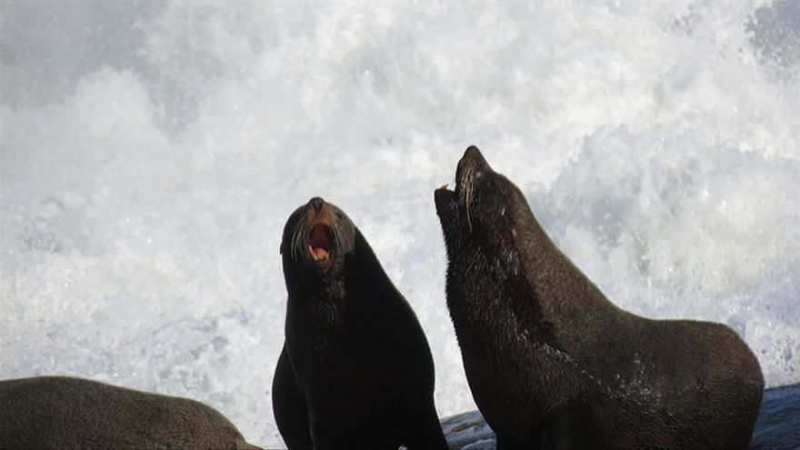 Lobos marinos en la colonia permanente de Cabo Polonio. Casas del Este