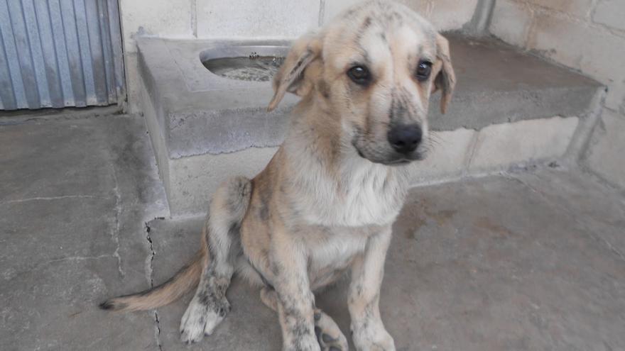 Tiger, junto a Tristón, fue abandonado entre las alpacas de paja de una explotación ganadera y es uno de los muchos que espera a una familia definitiva en el albergue de la SPAP
