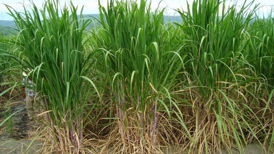 Cultivo de caña de azúcar, en una imagen de archivo