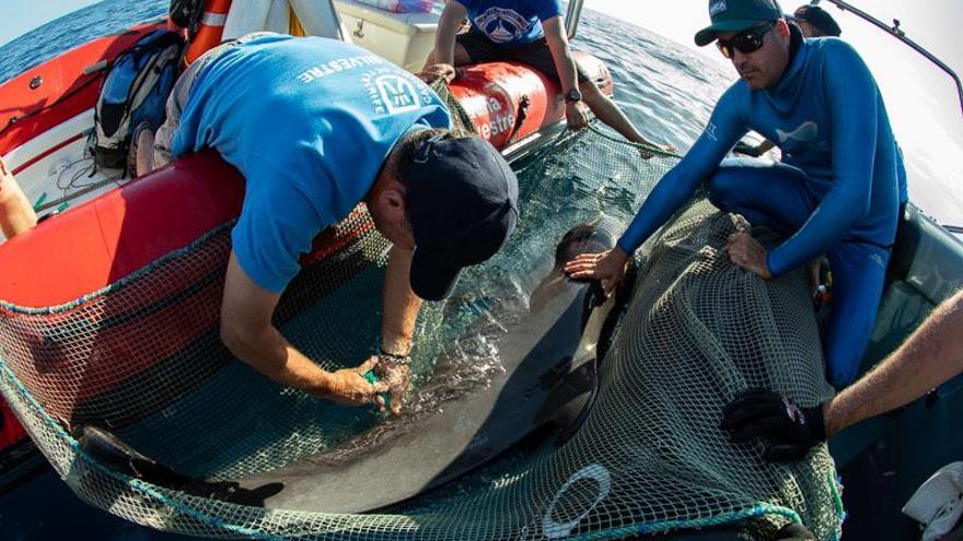 La ballena piloto, en el momento en que se le practica la eutanasia