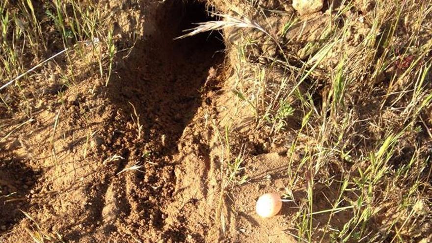 Colonia de abejarucos pisoteada en Doñana