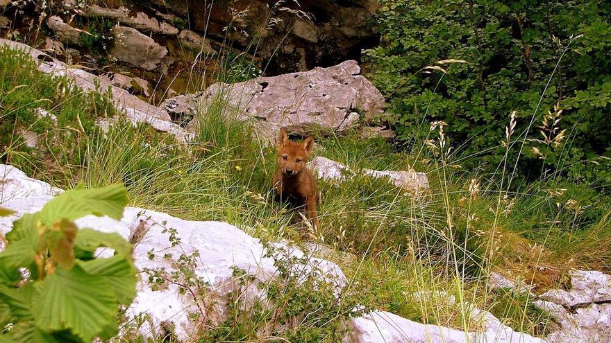 """Entidades conservacionistas acusan al Gobierno de generar """"crispación"""" en torno al lobo"""