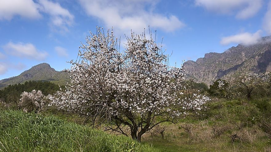 Almendros en plena floración en el entorno de la ermita de la Virgen del Pino de El Paso. Foto: JOSÉ F. AROZENA.