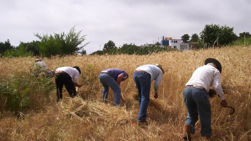 Imagen de archivo de cinco agricultores de La Palma segando. Foto: El Frescal.