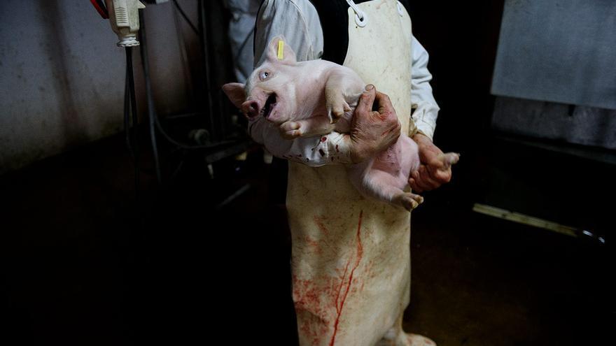 Lechón en un matadero.
