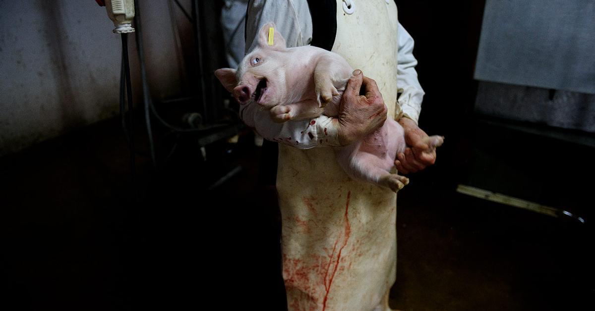 Dentro Del Matadero Una Investigación Sobre La Matanza Industrial De Animales En España