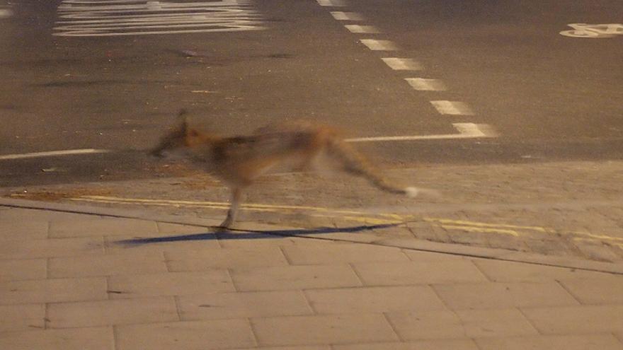 Un zorro fotografiado en Londres en 2011.
