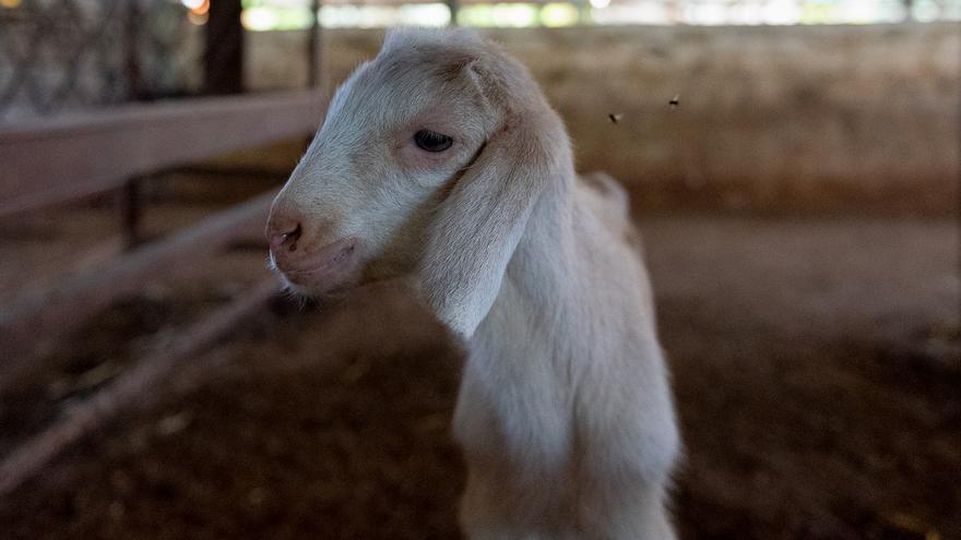 Una cabra en un establo
