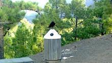 Foto de uno de los cuervos 'pillos' posado sobre una papelera tipo lapicero, en el mirador de La Cumbrecita.