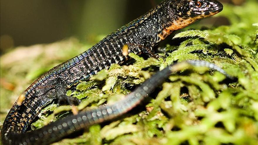 Descubren una nueva especie de lagartija en Machu Picchu