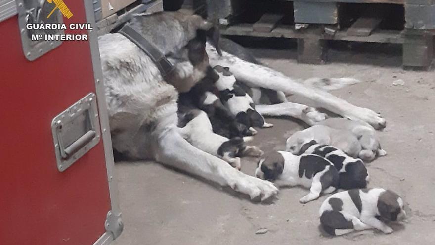 Investigadas dos personas por abandonar una caja con 10 cachorros de mastín debajo de un puente en Ciudad Real