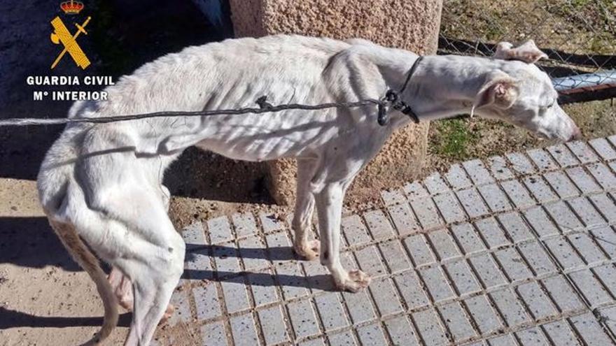 Galgo maltratado en Extremadura.