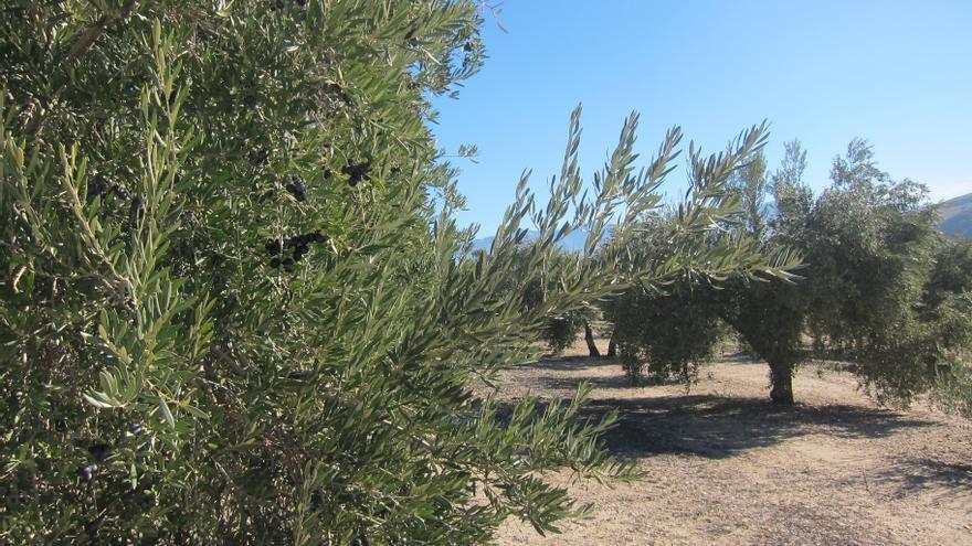 Archivo - La Xylella fastidiosa afecta a cultivos como el olivar
