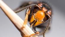 Fallece un hombre de 78 años tras picadura de avispas asiáticas en O Porriño