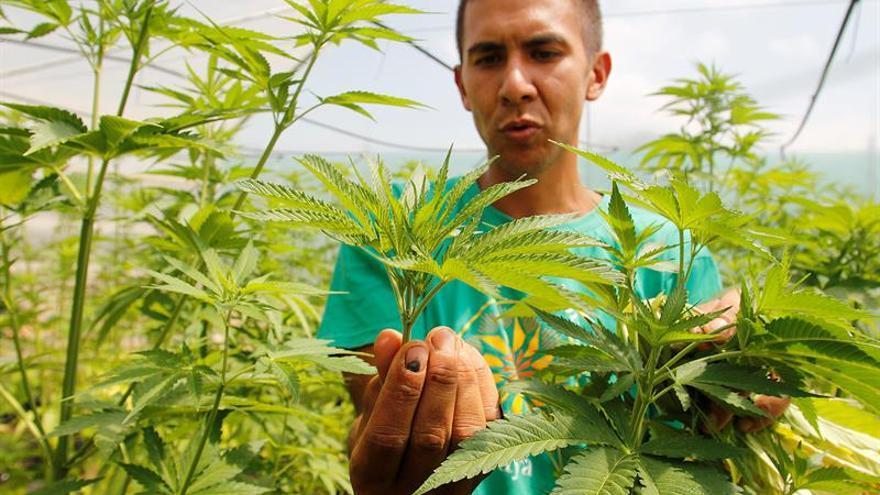 """Cannabis medicinal en Uruguay, un modelo """"casi ideal"""" con mala implementación"""
