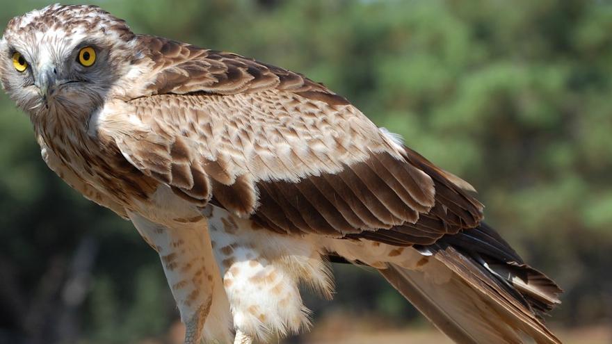 El águila culebrera, la mirada de fuego de una de las aves más grandes de la Península