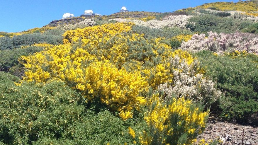 Las retamas, codesos y retamones se encuentran estos días en plena floración. Al fodo, varios telescopios del Observatorio de El Roque. Foto: ÁNGEL PALOMARES.
