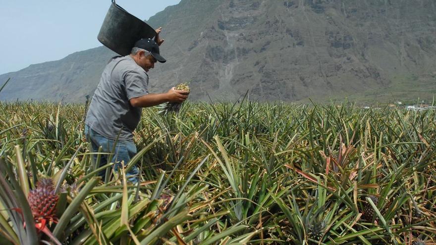 Cultivo de piña en El Hierro