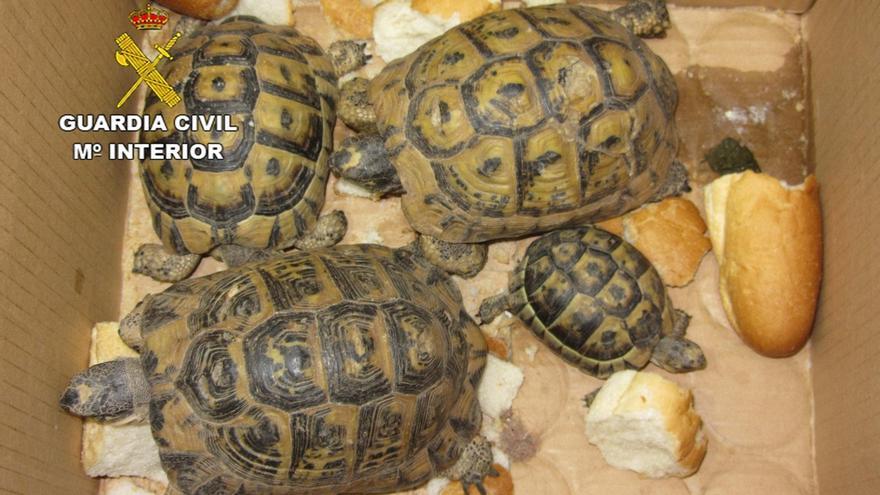 Intervenidos cuatro ejemplares de tortuga mora en el puerto de Almería y detenida una persona