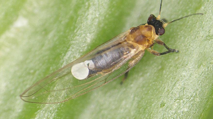 Imagen del insectoc 'Trioza erytreae. Foto: Gobierno de Canarias.