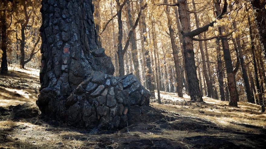 En la imagen, tronco de un pino quemado el pasado mes de agosto. Foto: RAMÓN P. YELO/ÁNGEL PALOMARES