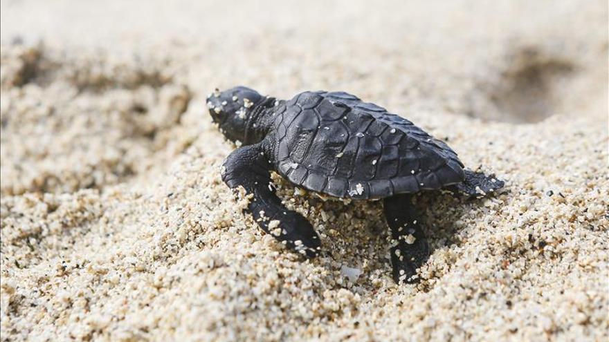 Las tortugas planas luchan contracorriente para permanecer en la Gran Barrera