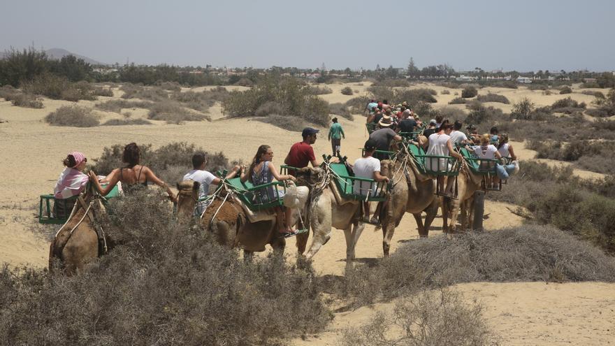 El Conde de la Vega Grande presenta el proyecto para sacar sus camellos de las Dunas Maspalomas