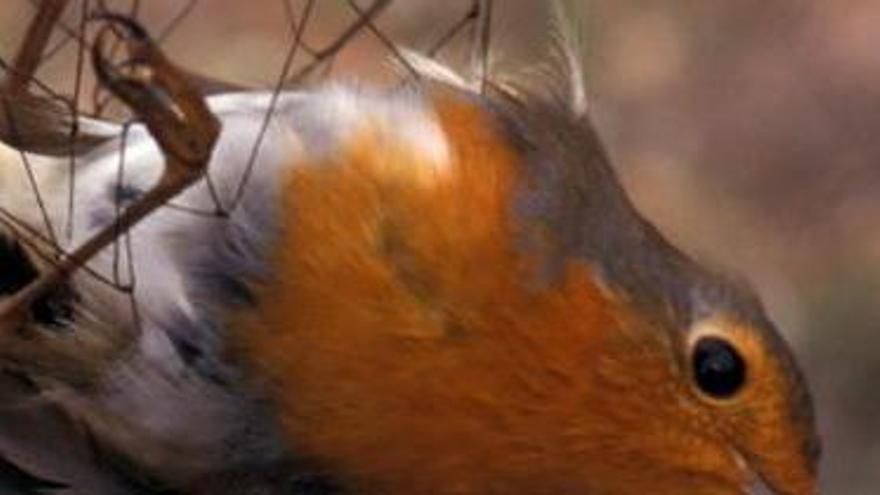 EL silvestrismo atrapa pájaros en redes para usarlos en concursos de canto.