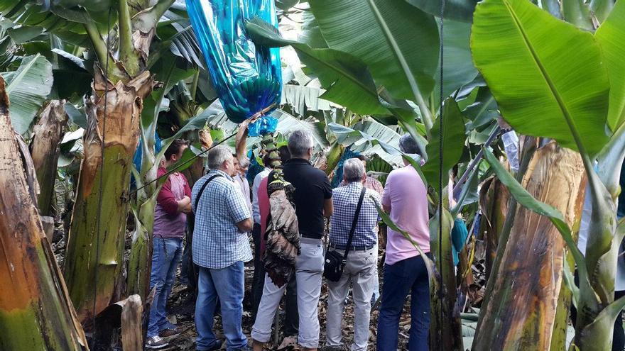 El grupo de mayoristas de frutería visitaron fincas de plátano situada en la costa de los municipios de Los Llanos de Aridane y Tazacorte. Foto: Silvia Tormo.